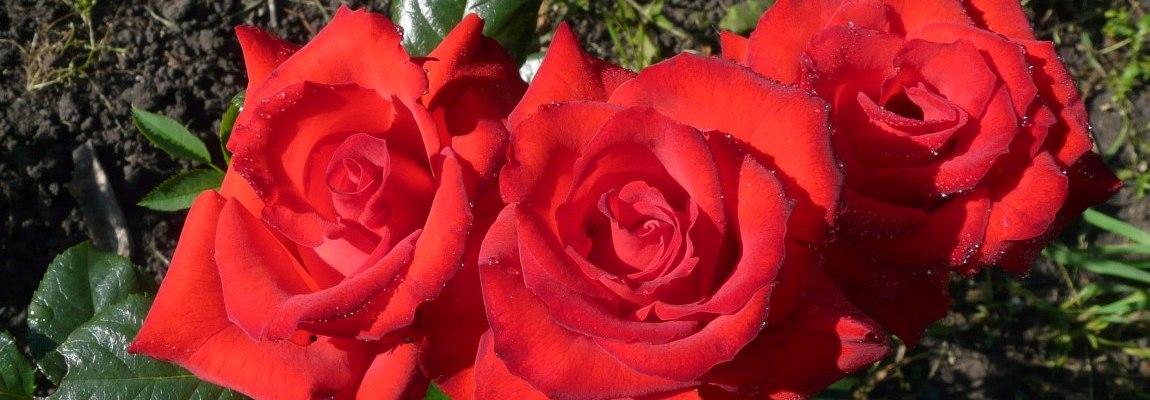 Садовые розы, Олег Чувакин, роман Близкое счастье