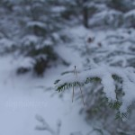 Снег на еловых ветках, фото, Олег Чувакин, 4
