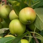 Садовые яблоки, Тюмень