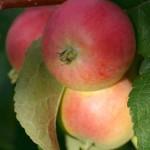 Яблоки красные
