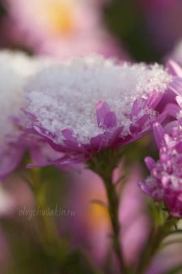 Первый снег, сентябрины, фотоснимок, октябрь