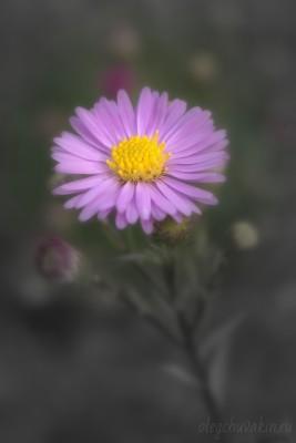 Астры-сентябрины, фото, сентябрь, 2015
