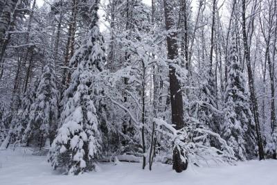 Январский лес, зимнее фото, елки, сосны