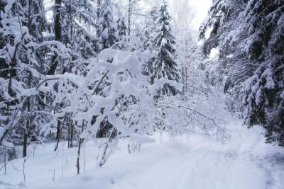 Лес и снег, зима, фото, январь 2016