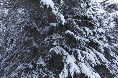 Сибирский лес, январь, елки и сосны в снегу, фото Олега Чувакина