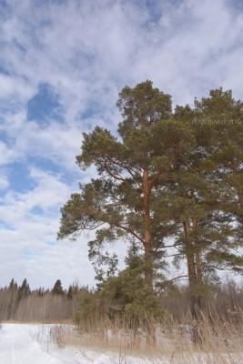Сосны, небо, март, фото, Олег Чувакин