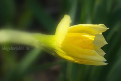 Нарцисс, фото, макро, апрель