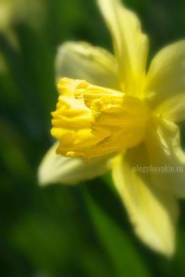 Нарцисс, фото, профиль