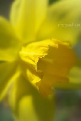 """Нарцисс, красивое фото, макро, галерея """"Жёлтое и красное"""""""