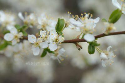 Слива цветёт, май, сад, красивое фото