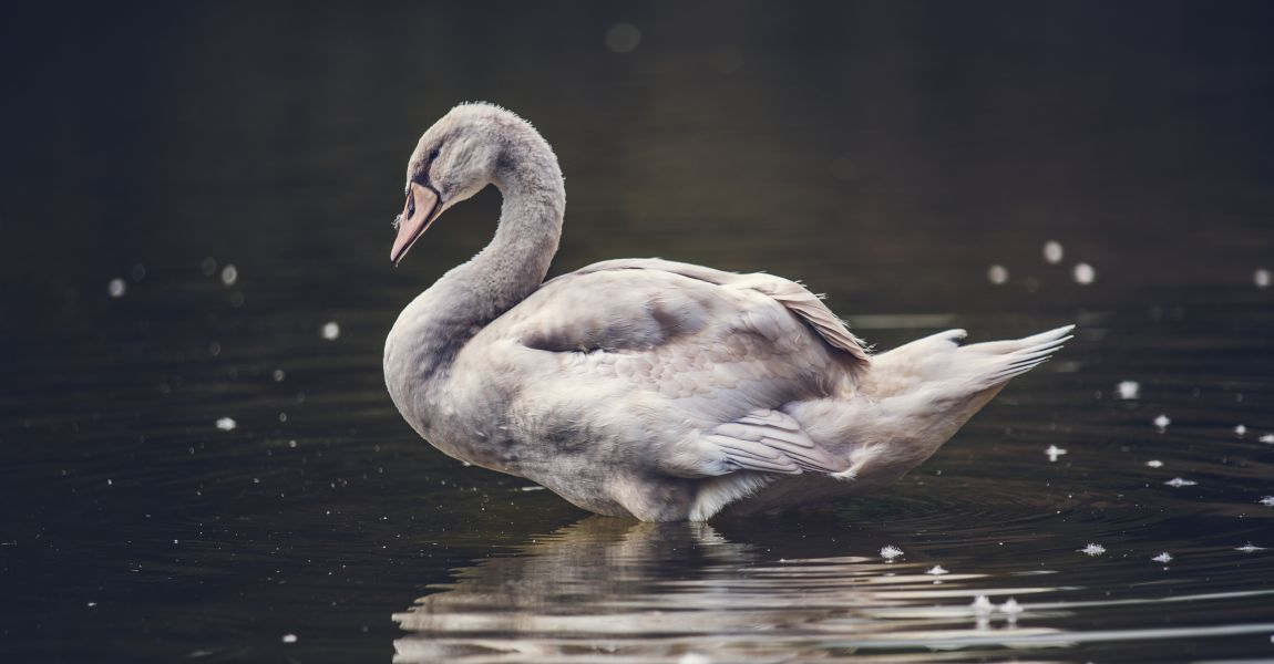 Лебедь, озеро, отряхивается, брызги, вода, фото