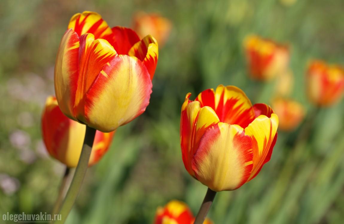 Тюльпаны в саду, символ любви, фото