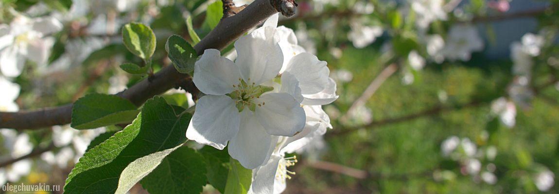 Яблоня, в цвету, цветёт, белые цветки, школьные яблони, фото