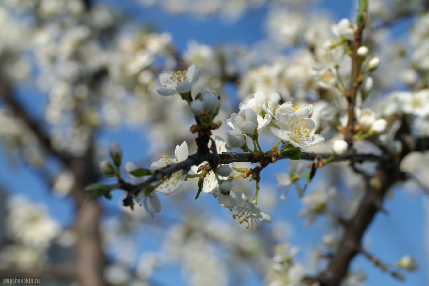 Слива, цветки, небо, фото