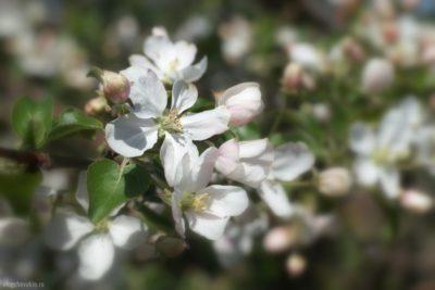 Яблоня, цветы, май, цветёт, цветущая, фото