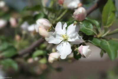 Цветущая яблоня, май, яблоня в цвету, фото