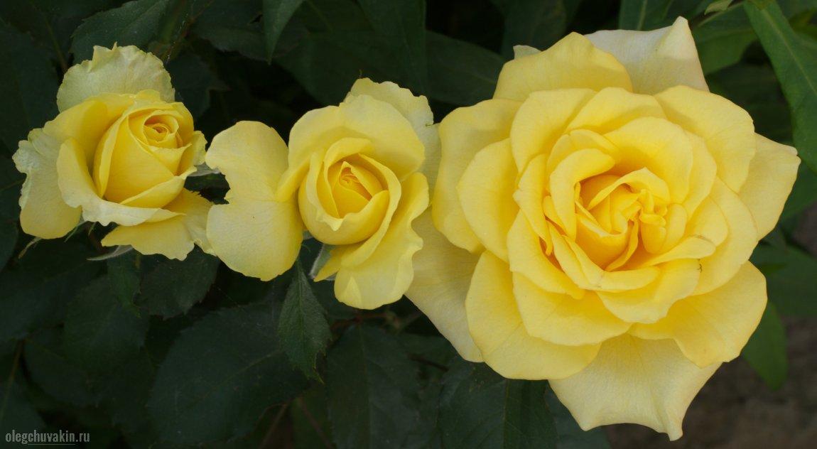 Розы, жёлтые, фото, писательский день рождения