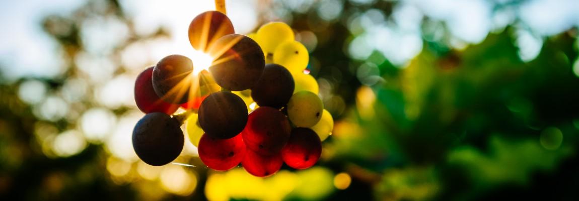 Виноград, лучи солнца, гроздь, фото