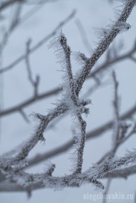 Грушевое дерево, ветки, иней, фотография