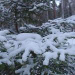 Снег на еловых ветках, фото, Олег Чувакин