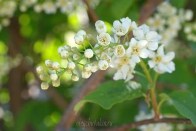 Цветущая черёмуха, май, фото, Олег Чувакин