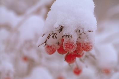 Калина, снег, фото