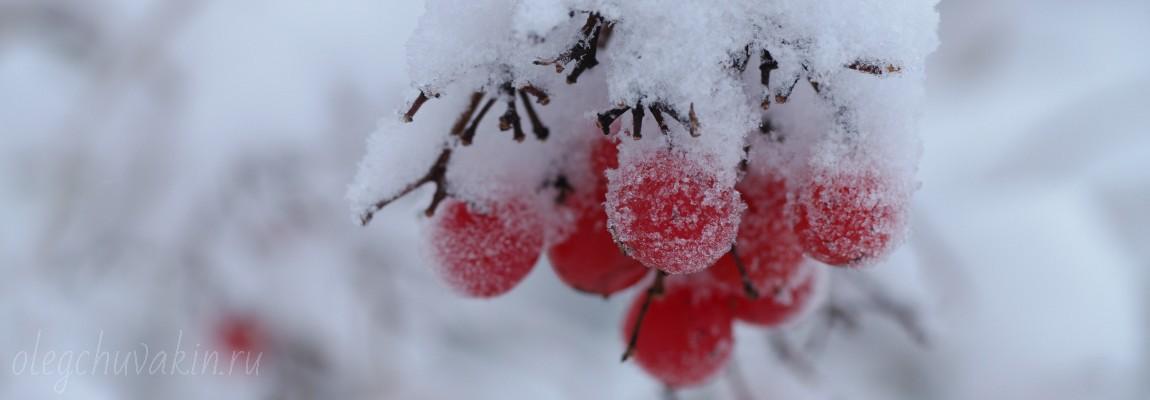 Калина красная, фото, снег, калиновка, алкоголь, минфин, Путин 2016