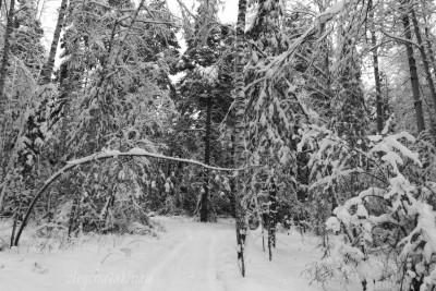 Январский лес, снег, Сибирь, фото, Олег Чувакин