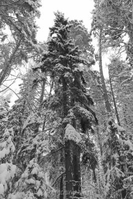 Январь, снежный лес, фотографии, 2016, Олег Чувакин