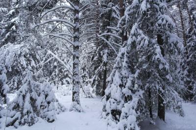 Ели и сосны в лесу, снег, январь, фото