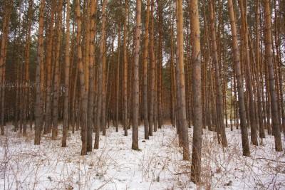 Март, сосны, лес, фото, Олег Чувакин