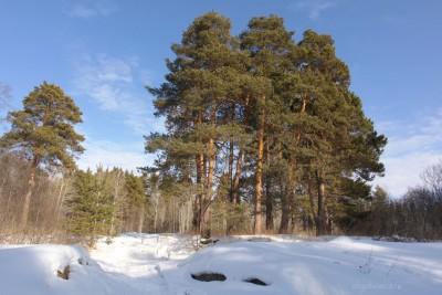 Группа сосен, голубое небо, весна, распогодилось, фото, Олег Чувакин