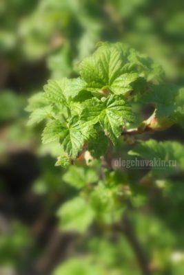 Смородина, листья, фото, крупный план, макро