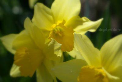 """Нарциссы, фото, галерея """"Жёлтое и красное"""""""