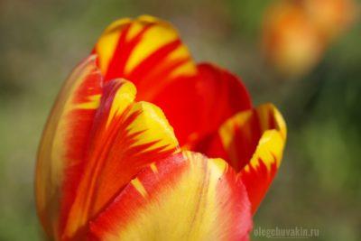 Тюльпан, макро, фото, красота, май, сад