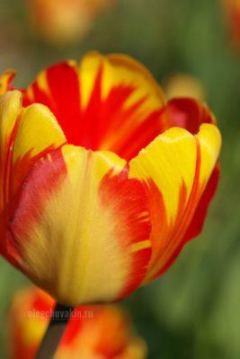 Прекрасный тюльпан, фото, макро, сад, май