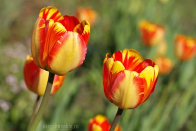 Тюльпаны, сад, май, красивое фото, красное, жёлтое