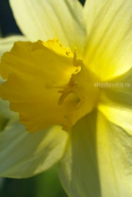 Нарцисс, жйлтый, фото, макро