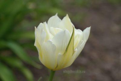 Тюльпан, белый, фото, сад, май