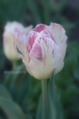 Красивый тюльпан, тюльпаны, фото