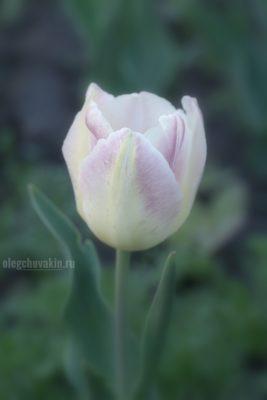 Тюльпан, тюльпаны, фото, макро
