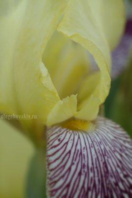 Цветущий ирис, июнь, фото, макро