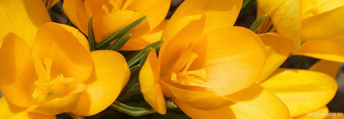 Крокусы, весна, фото, весенний конкурс короткого рассказа, Художественное слово, FAQ