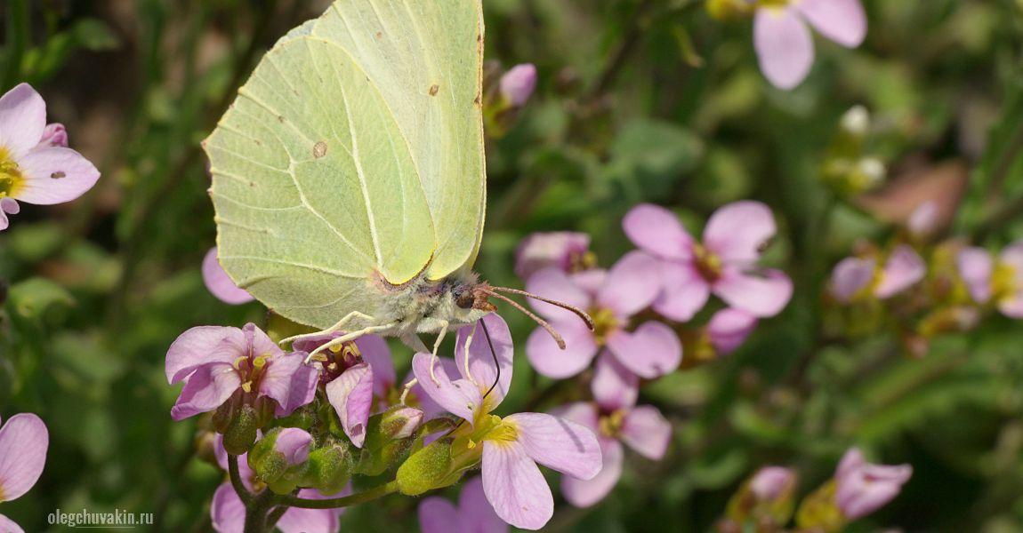 Лимонница, бабочка, арабис, фото