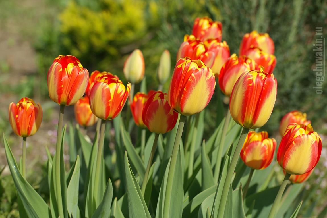 8 Марта, тюльпаны, поздравление, женский день, Олег Чувакин, фото