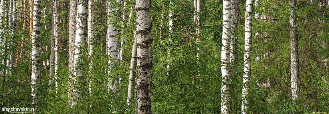 Берёзы на фоне ёлок, лес, весна, фото, иллюстрация