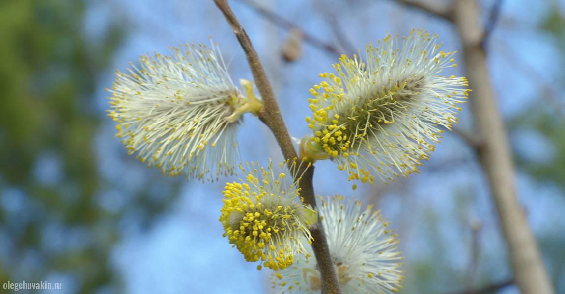 Верба, цветущая, цветёт, в цвету, весна, фото