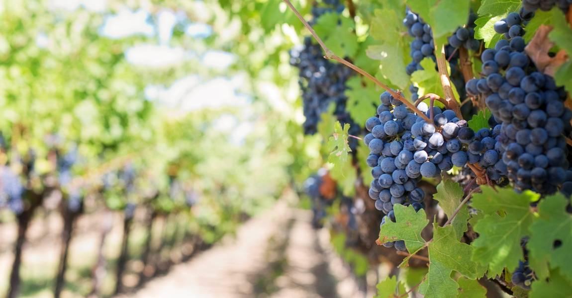 Виноград, чёрный, лоза, фото