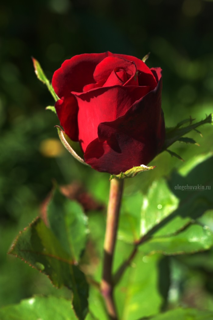 Роза из моего сада. В подарок моим читательницам!