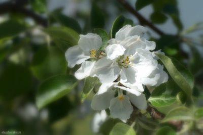 Яблоня, май, белые цветки, фото, макро